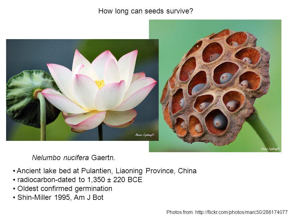 How long can seeds survive. Nelumbo nucifera Gaertn.