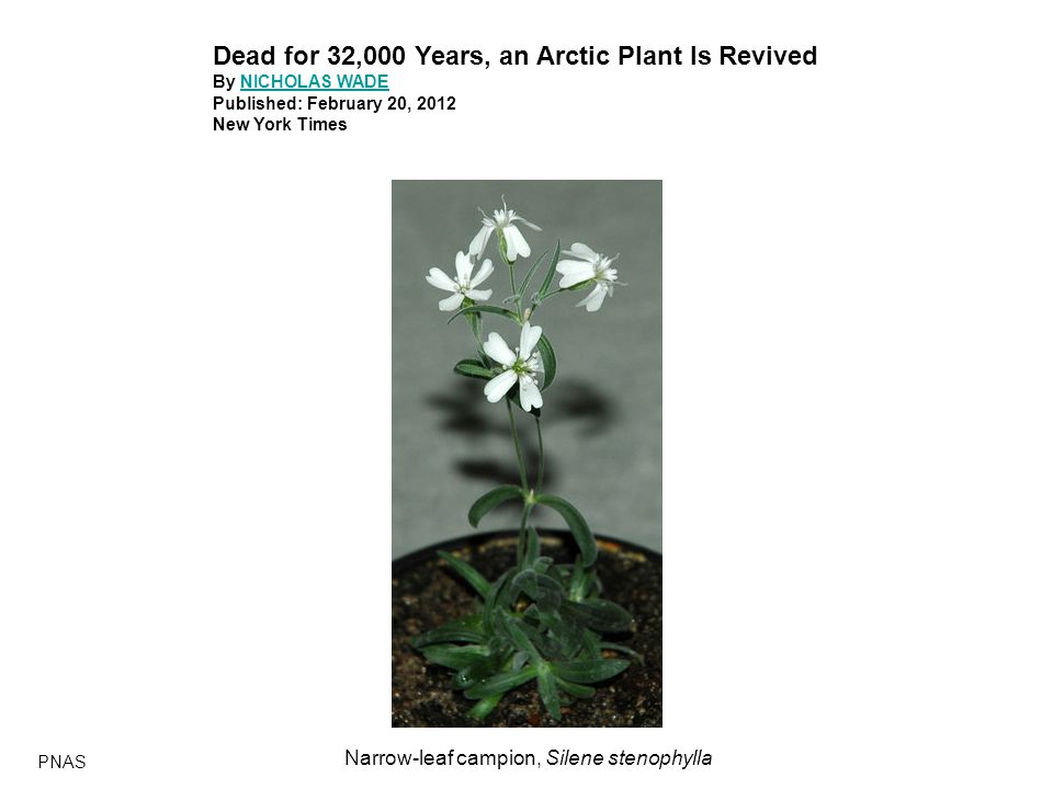 Dead for 32,000 Years, an Arctic Plant Is Revived By NICHOLAS WADENICHOLAS WADE Published: February 20, 2012 New York Times PNAS Narrow-leaf campion, Silene stenophylla
