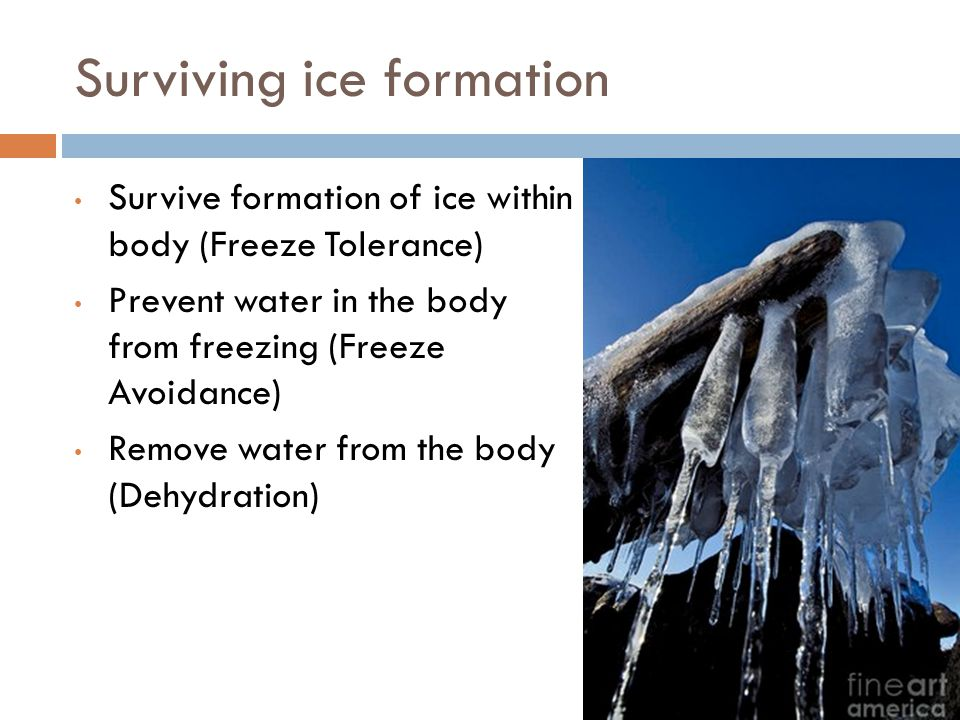 Surviving ice formation Survive formation of ice within body (Freeze Tolerance) Prevent water in the body from freezing (Freeze Avoidance) Remove water from the body (Dehydration)