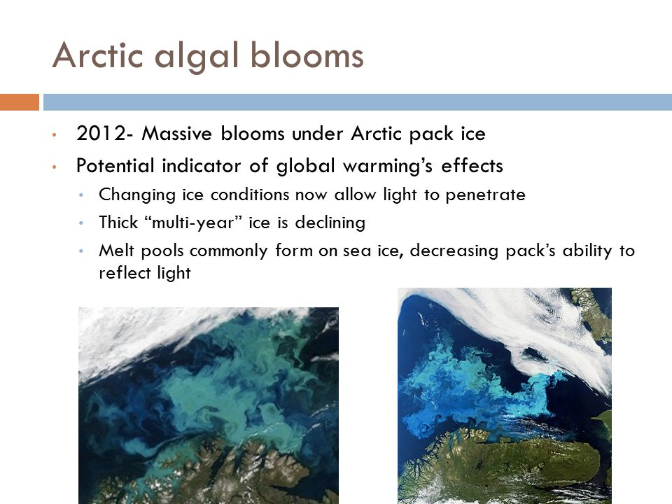 Arctic algal blooms 2012- Massive blooms under Arctic pack ice Potential indicator of global warming's effects Changing ice conditions now allow light to penetrate Thick multi-year ice is declining Melt pools commonly form on sea ice, decreasing pack's ability to reflect light