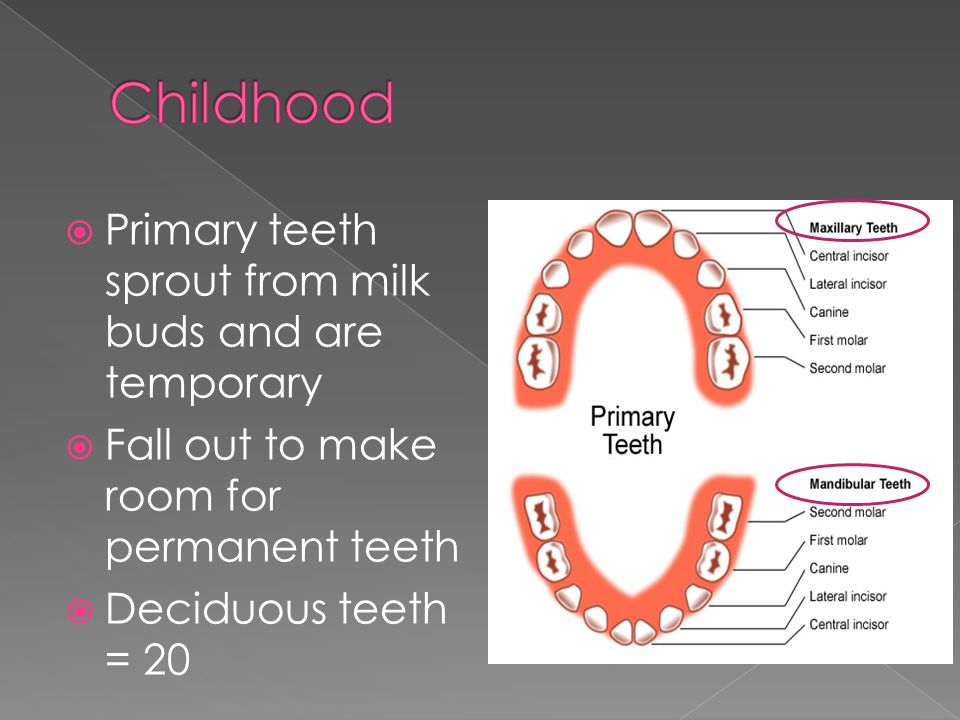  Primary teeth sprout from milk buds and are temporary  Fall out to make room for permanent teeth  Deciduous teeth = 20
