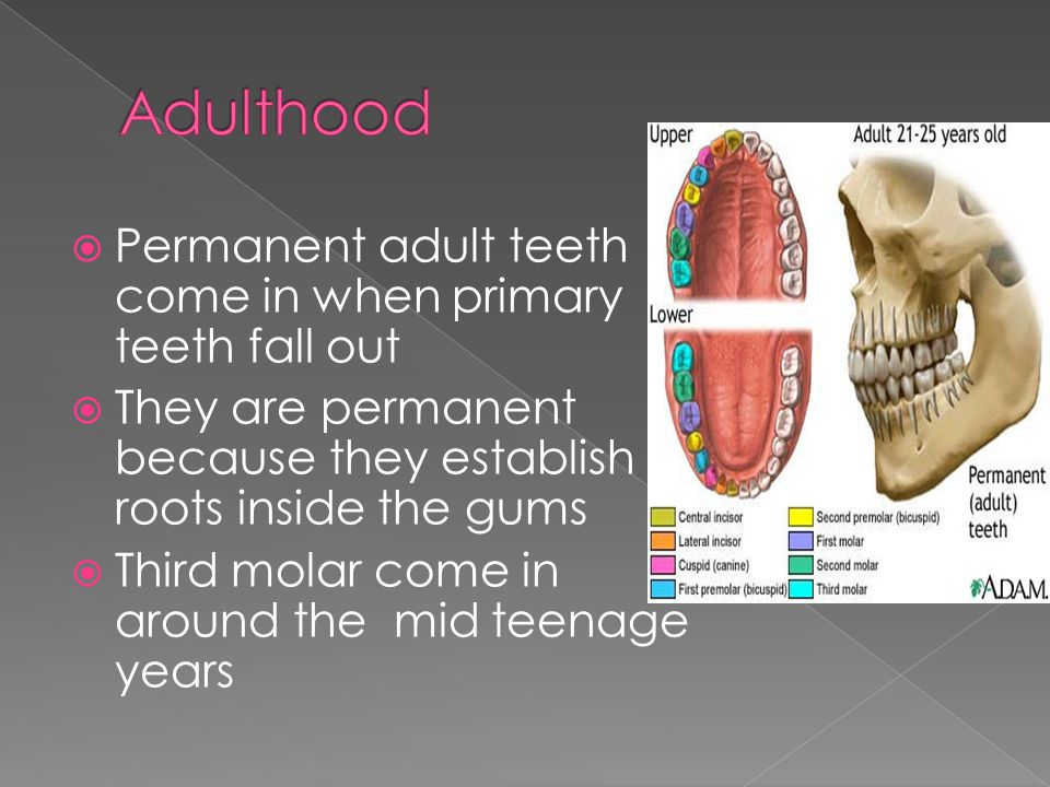  Permanent adult teeth come in when primary teeth fall out  They are permanent because they establish roots inside the gums  Third molar come in ar