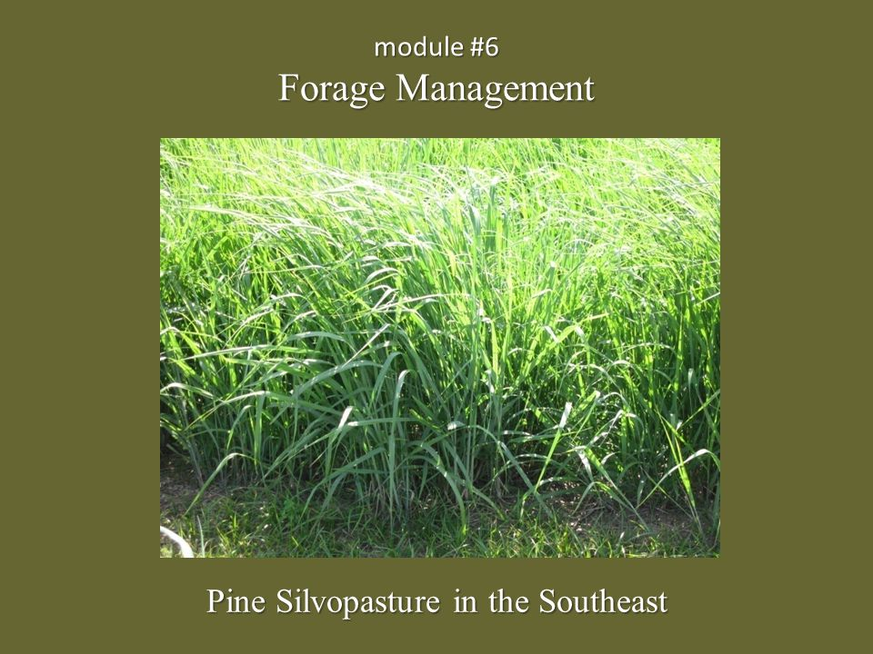 Forage Establishment Establishing additional forage may be required to provide balanced nutrition for livestock in a silvopasture.