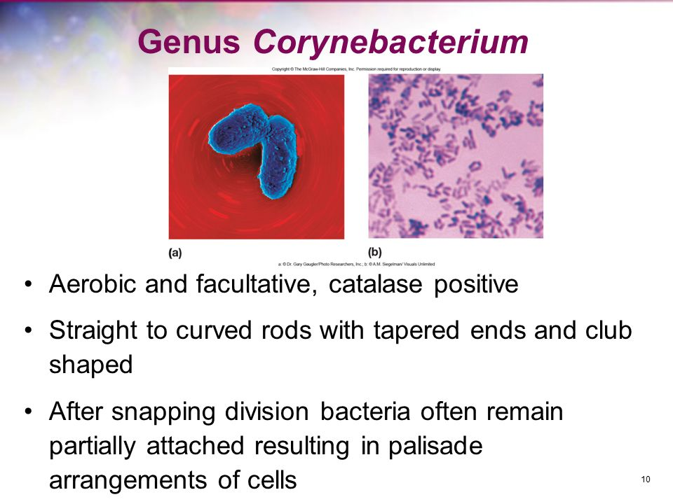Genus Corynebacterium Aerobic and facultative, catalase positive Straight to curved rods with tapered ends and club shaped After snapping division bacteria often remain partially attached resulting in palisade arrangements of cells 10