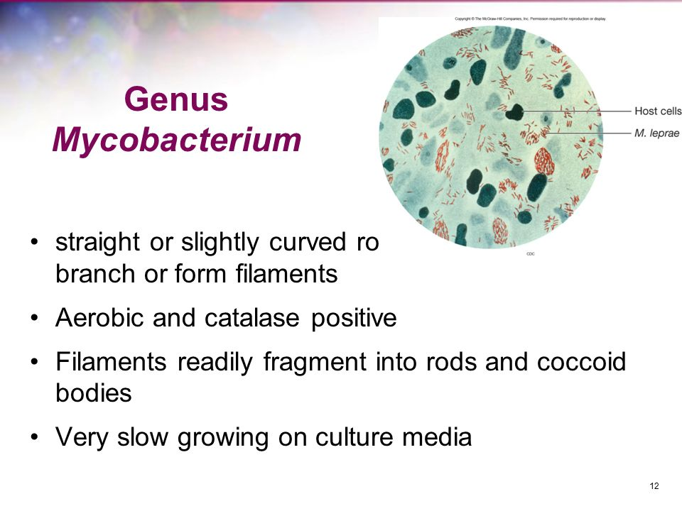 Genus Mycobacterium straight or slightly curved rods that sometimes branch or form filaments Aerobic and catalase positive Filaments readily fragment into rods and coccoid bodies Very slow growing on culture media 12