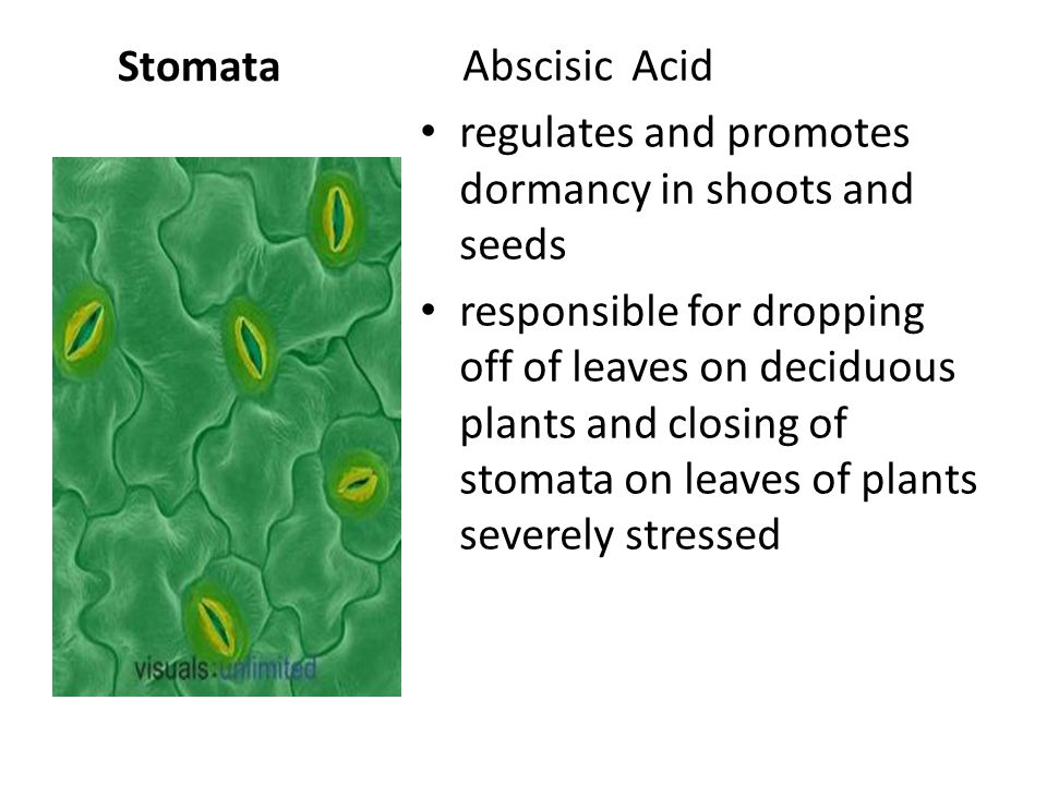 Abscisic Acid regulates and promotes dormancy in shoots and seeds responsible for dropping off of leaves on deciduous plants and closing of stomata on leaves of plants severely stressed