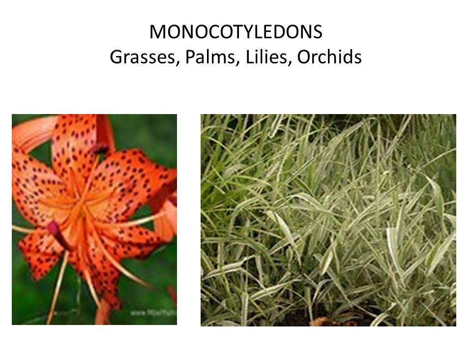 MONOCOTYLEDONS Grasses, Palms, Lilies, Orchids