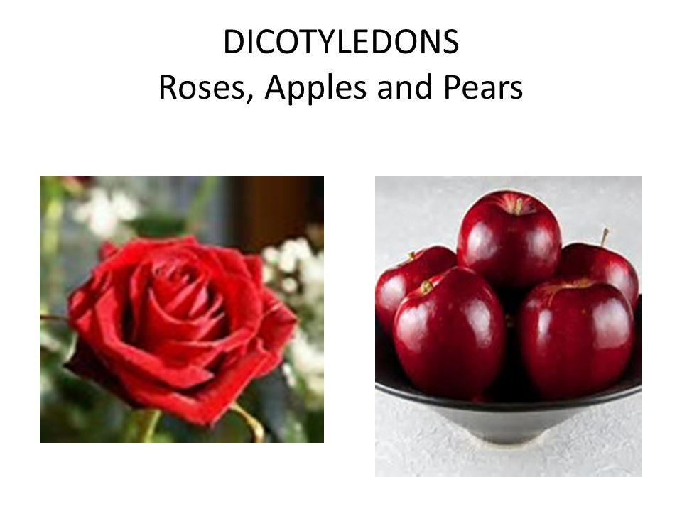 DICOTYLEDONS Roses, Apples and Pears