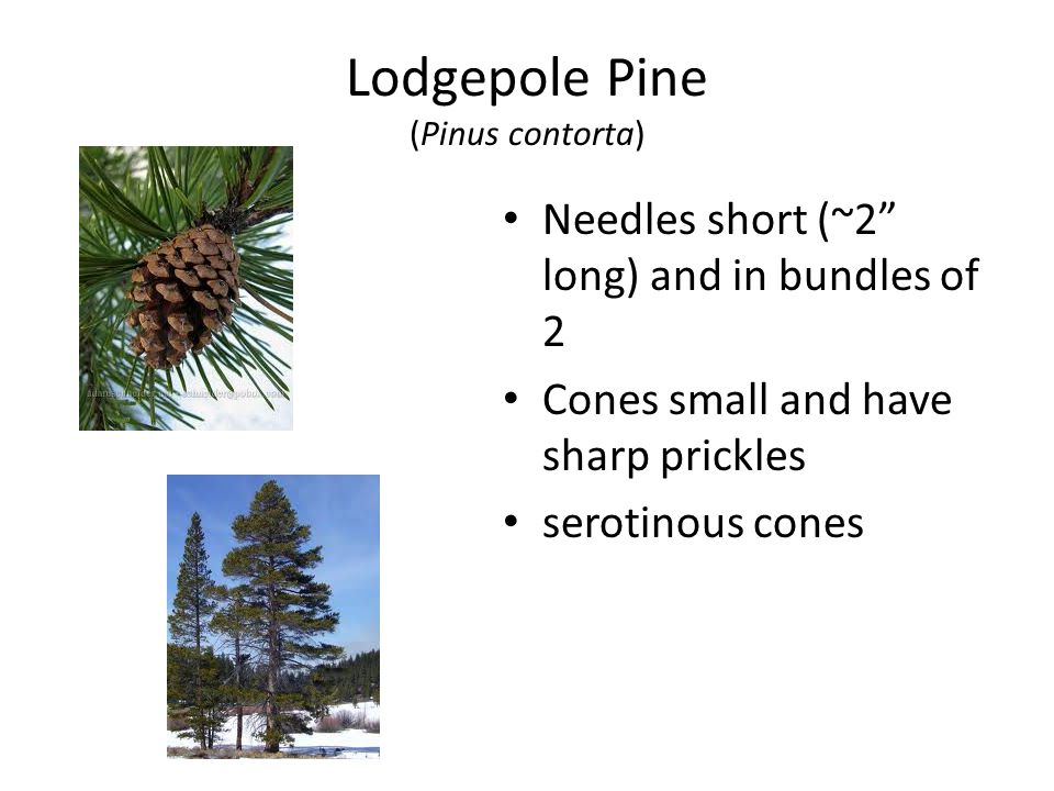 Lodgepole Pine (Pinus contorta) Needles short (~2 long) and in bundles of 2 Cones small and have sharp prickles serotinous cones