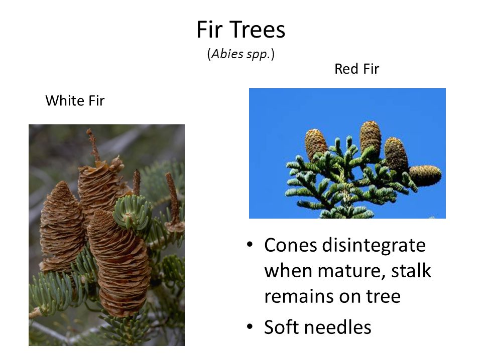 Fir Trees (Abies spp.) Cones disintegrate when mature, stalk remains on tree Soft needles White Fir Red Fir