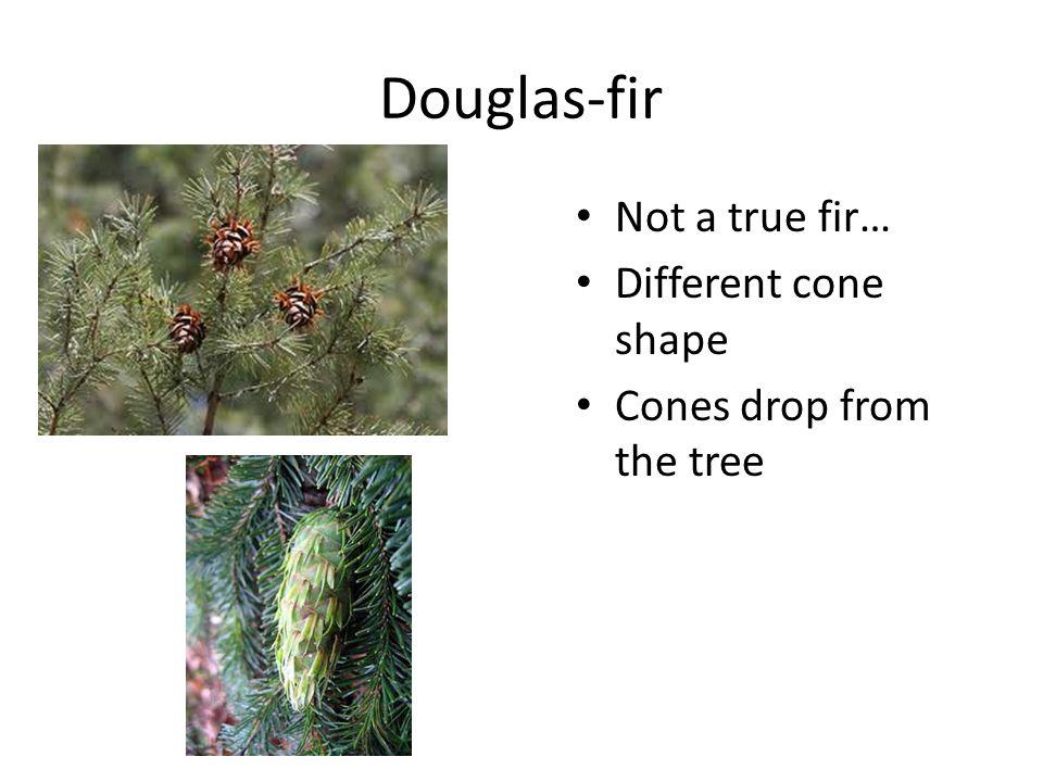 Douglas-fir Not a true fir… Different cone shape Cones drop from the tree