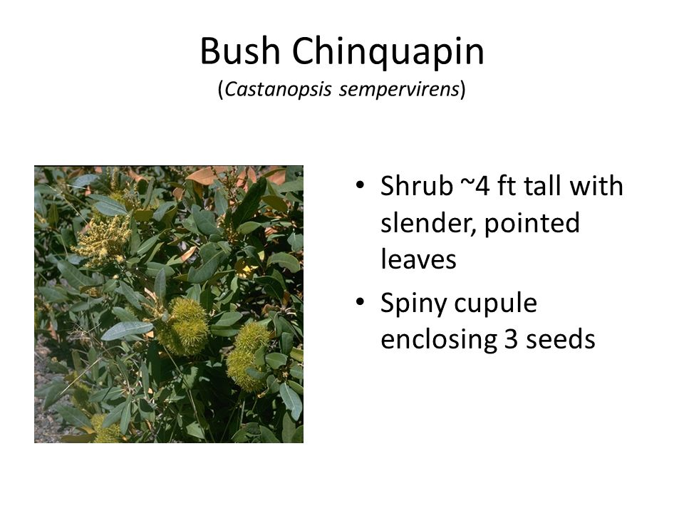 Bush Chinquapin (Castanopsis sempervirens) Shrub ~4 ft tall with slender, pointed leaves Spiny cupule enclosing 3 seeds