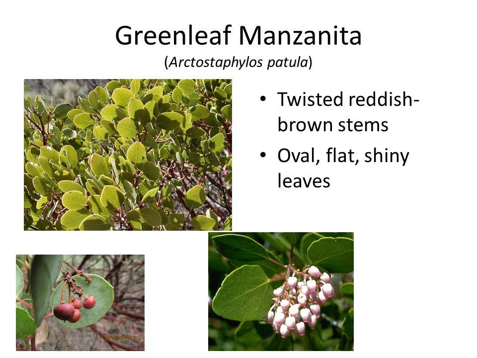 Greenleaf Manzanita (Arctostaphylos patula) Twisted reddish- brown stems Oval, flat, shiny leaves