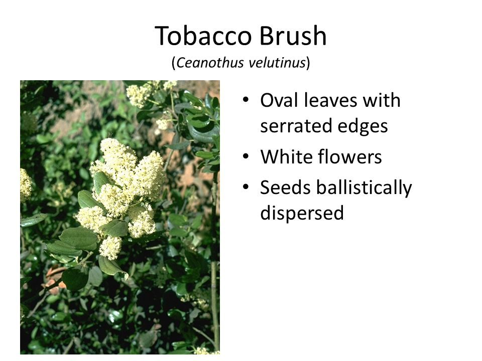 Tobacco Brush (Ceanothus velutinus) Oval leaves with serrated edges White flowers Seeds ballistically dispersed