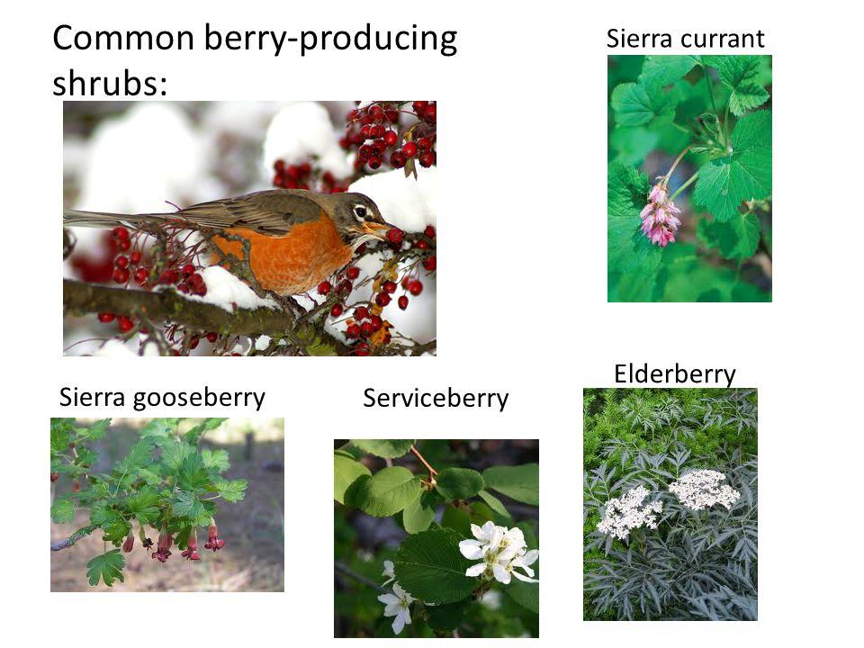 Common berry-producing shrubs: Sierra currant Sierra gooseberry Serviceberry Elderberry
