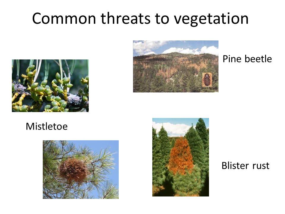 Common threats to vegetation Mistletoe Pine beetle Blister rust