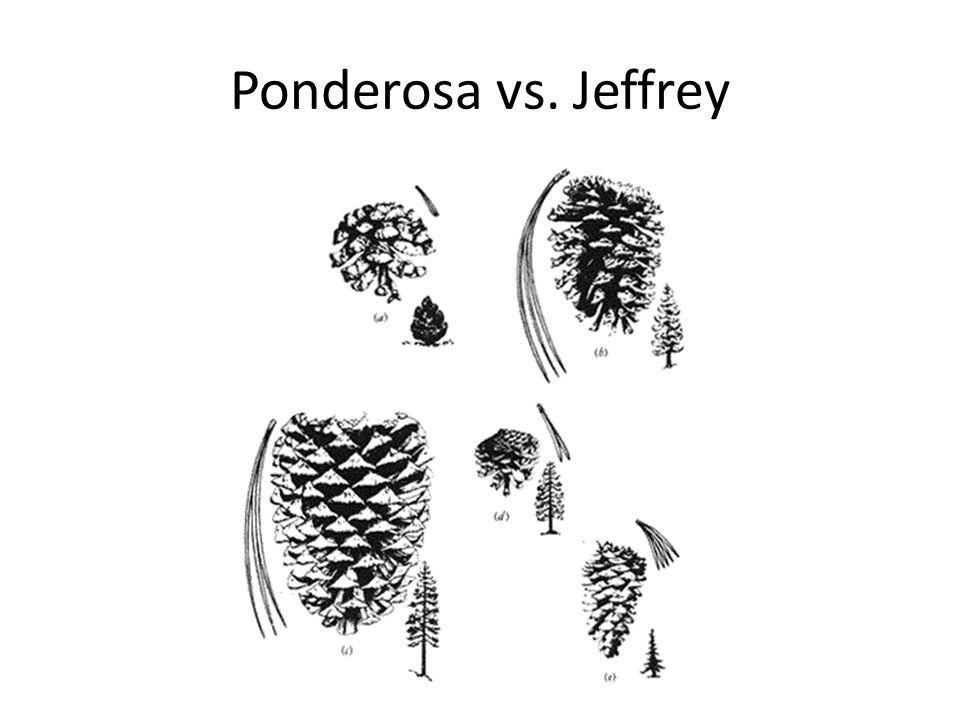Ponderosa vs. Jeffrey