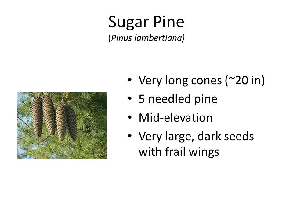 Sugar Pine (Pinus lambertiana) Very long cones (~20 in) 5 needled pine Mid-elevation Very large, dark seeds with frail wings