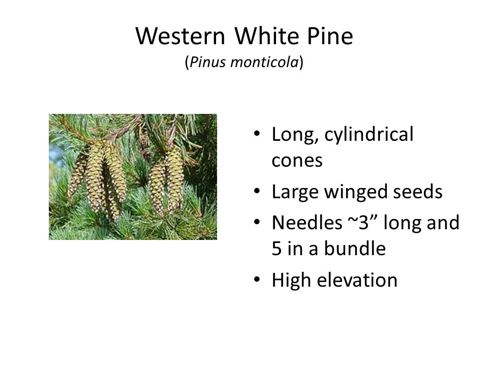 Western White Pine (Pinus monticola) Long, cylindrical cones Large winged seeds Needles ~3 long and 5 in a bundle High elevation