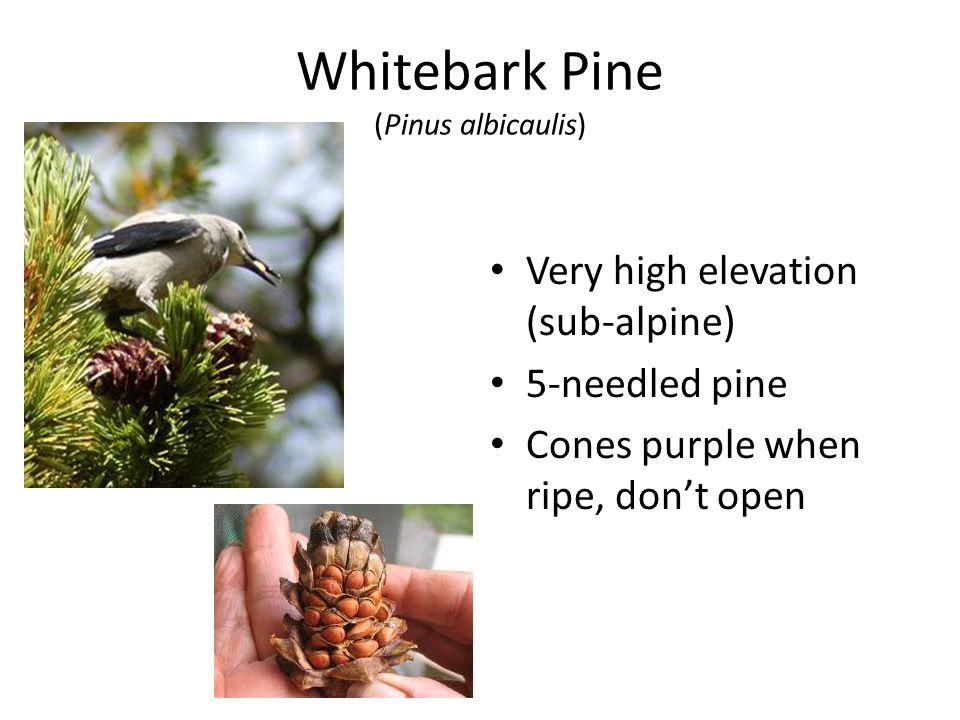 Whitebark Pine (Pinus albicaulis) Very high elevation (sub-alpine) 5-needled pine Cones purple when ripe, don't open