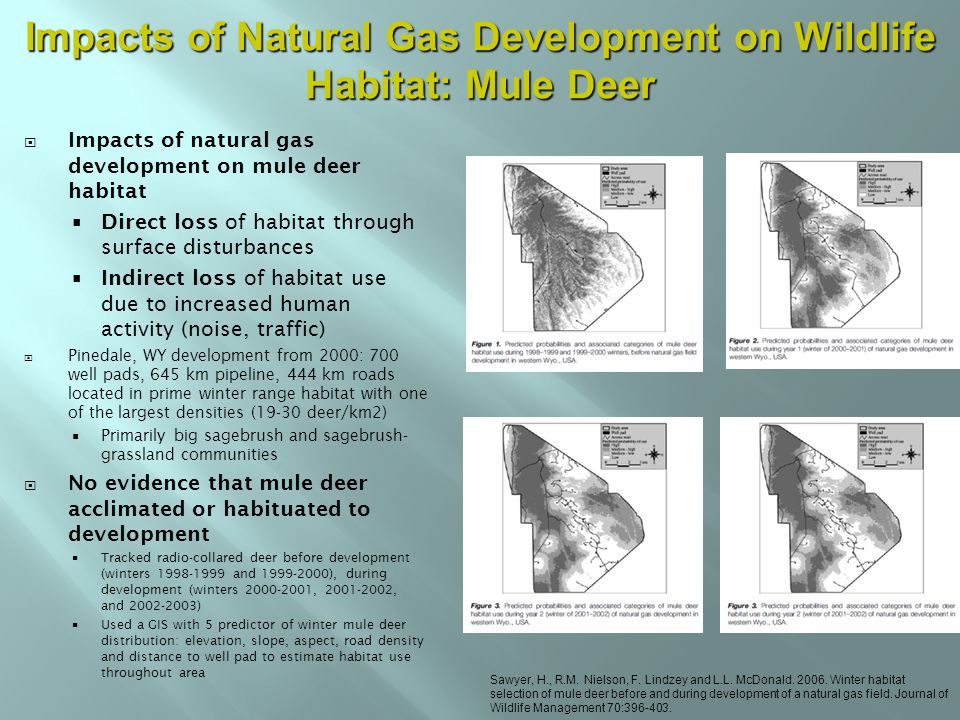  Impacts of natural gas development on mule deer habitat  Direct loss of habitat through surface disturbances  Indirect loss of habitat use due to increased human activity (noise, traffic)  Pinedale, WY development from 2000: 700 well pads, 645 km pipeline, 444 km roads located in prime winter range habitat with one of the largest densities (19-30 deer/km2)  Primarily big sagebrush and sagebrush- grassland communities  No evidence that mule deer acclimated or habituated to development  Tracked radio-collared deer before development (winters 1998-1999 and 1999-2000), during development (winters 2000-2001, 2001-2002, and 2002-2003)  Used a GIS with 5 predictor of winter mule deer distribution: elevation, slope, aspect, road density and distance to well pad to estimate habitat use throughout area Sawyer, H., R.M.