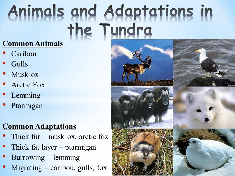 Common Animals Caribou Gulls Musk ox Arctic Fox Lemming Ptarmigan Common Adaptations Thick fur – musk ox, arctic fox Thick fat layer – ptarmigan Burrowing – lemming Migrating – caribou, gulls, fox