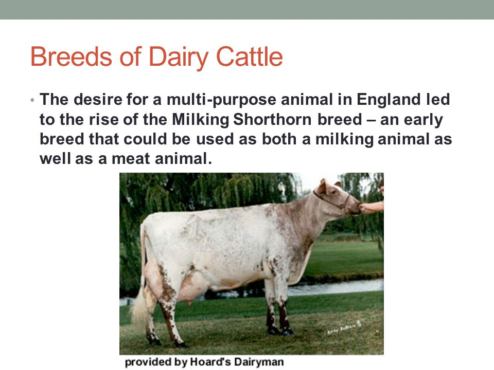 Other Dairy Breeds Other dairy breeds include – Guernsey – high quality grazing animals Ayrshire – deep red cattle Red and White Holsteins – identical to regular Holstein cattle except that they have a recessive red color.