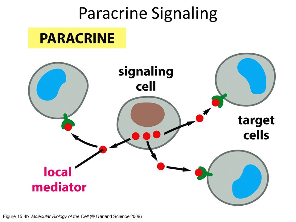 Figure 15-4b Molecular Biology of the Cell (© Garland Science 2008) Paracrine Signaling