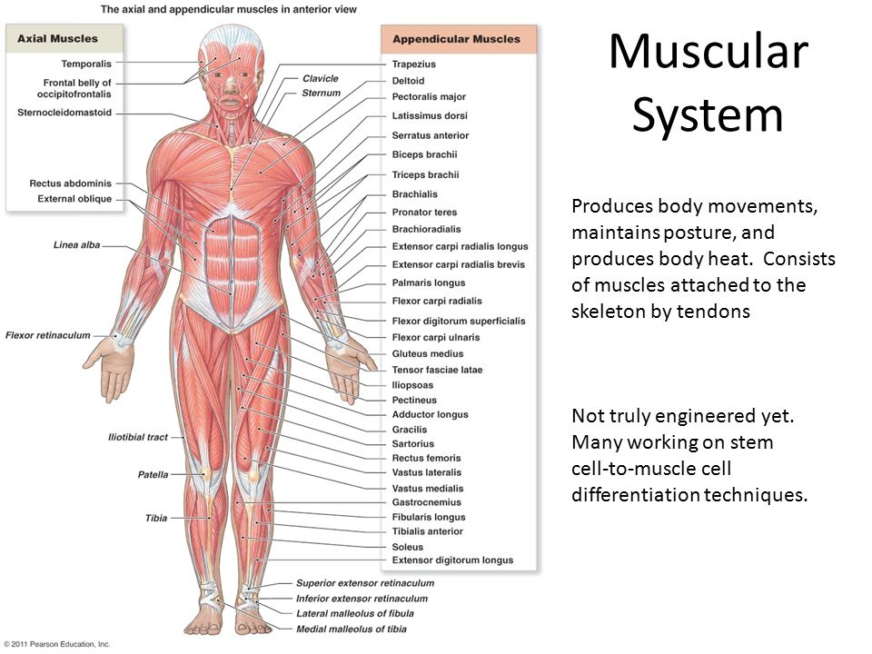Muscular System Produces body movements, maintains posture, and produces body heat.