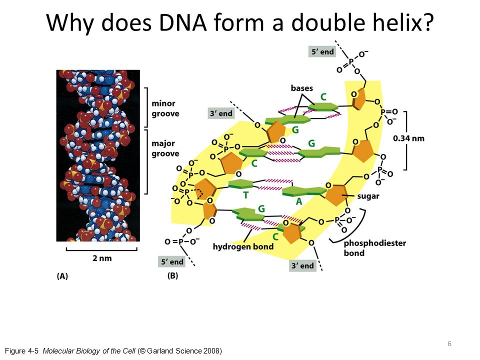 Figure 4-5 Molecular Biology of the Cell (© Garland Science 2008) Why does DNA form a double helix.
