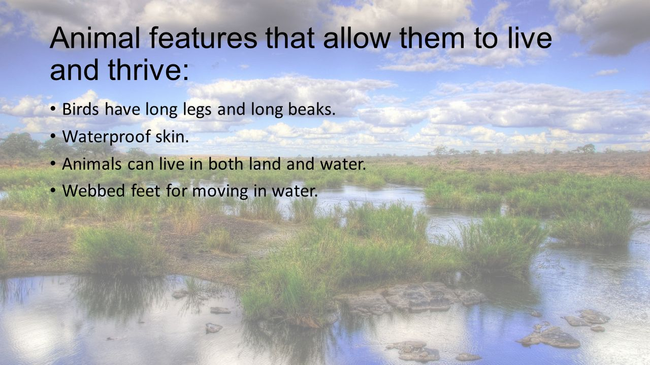 Animal features that allow them to live and thrive: Birds have long legs and long beaks. Waterproof skin. Animals can live in both land and water. Web
