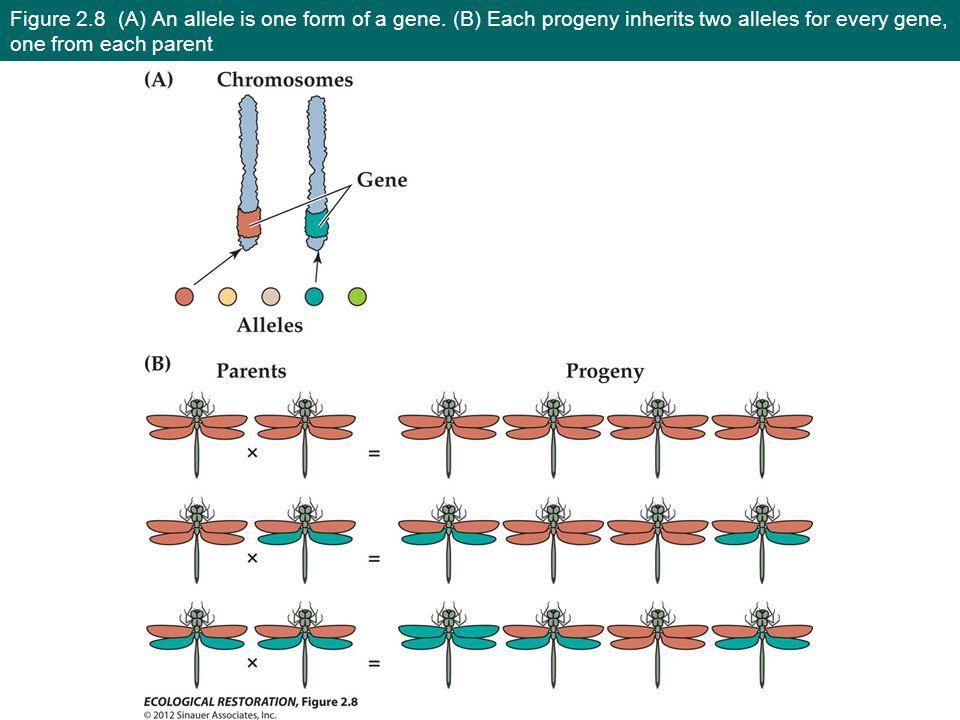 Figure 2.8 (A) An allele is one form of a gene.