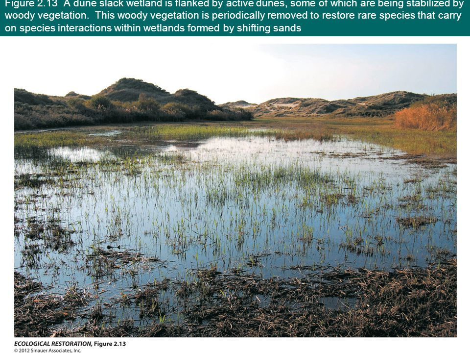 Figure 2.13 A dune slack wetland is flanked by active dunes, some of which are being stabilized by woody vegetation.