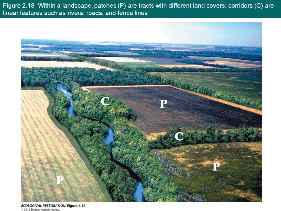 Figure 2.18 Within a landscape, patches (P) are tracts with different land covers; corridors (C) are linear features such as rivers, roads, and fence lines