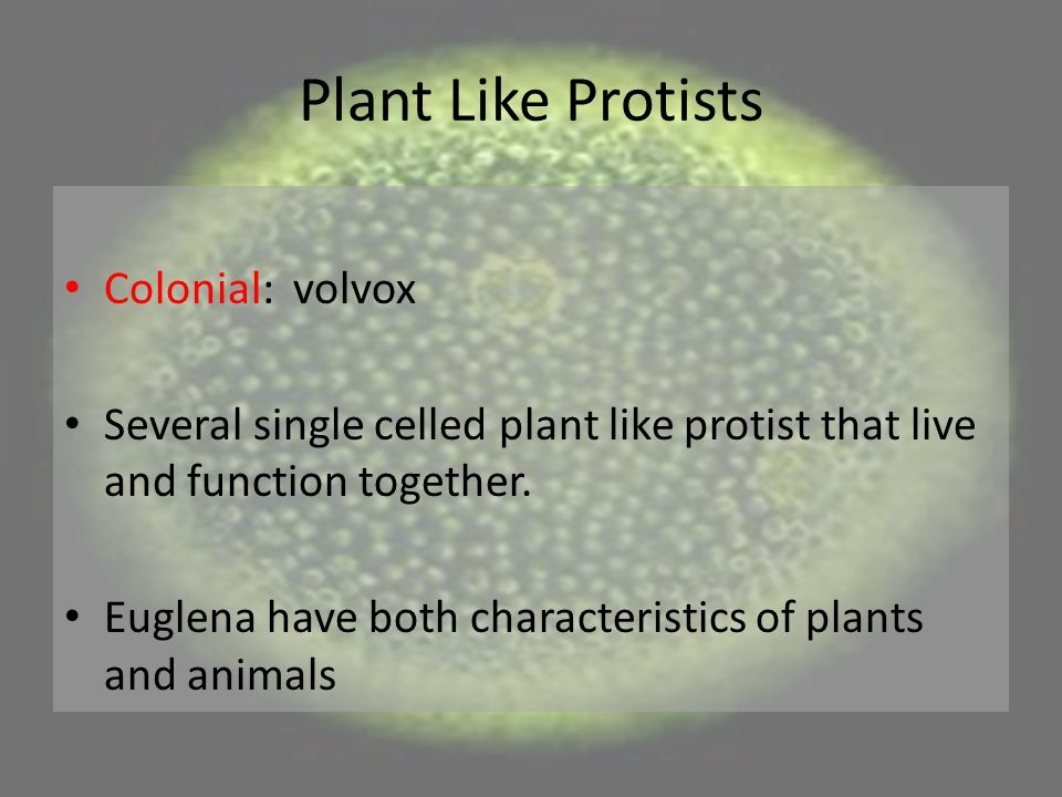 Plant Like Protists Colonial: volvox Several single celled plant like protist that live and function together. Euglena have both characteristics of pl