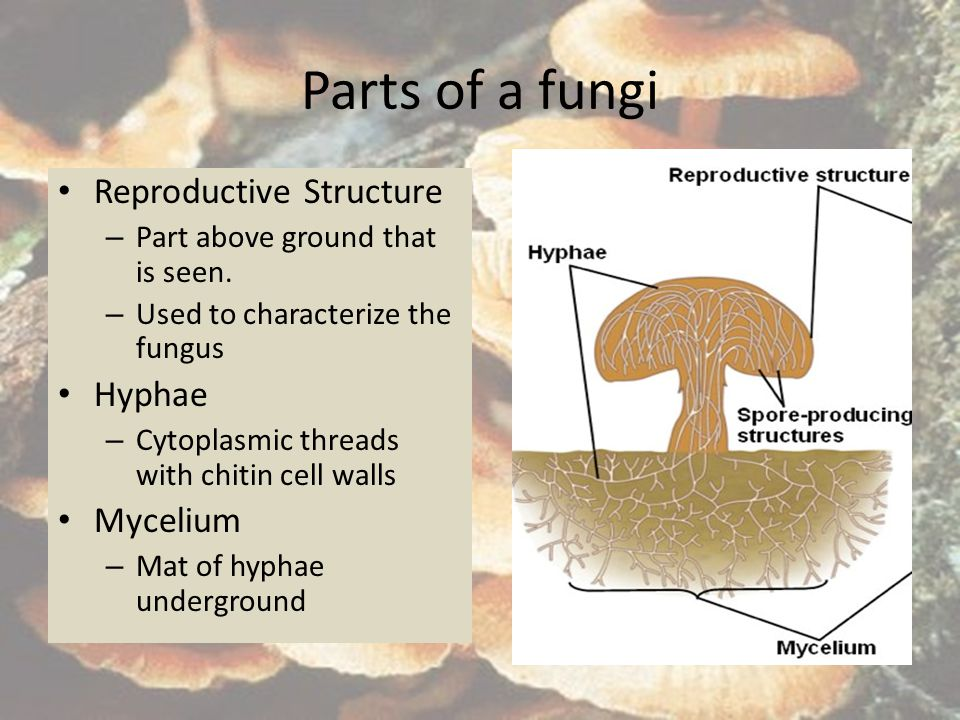 Parts of a fungi Reproductive Structure – Part above ground that is seen. – Used to characterize the fungus Hyphae – Cytoplasmic threads with chitin c