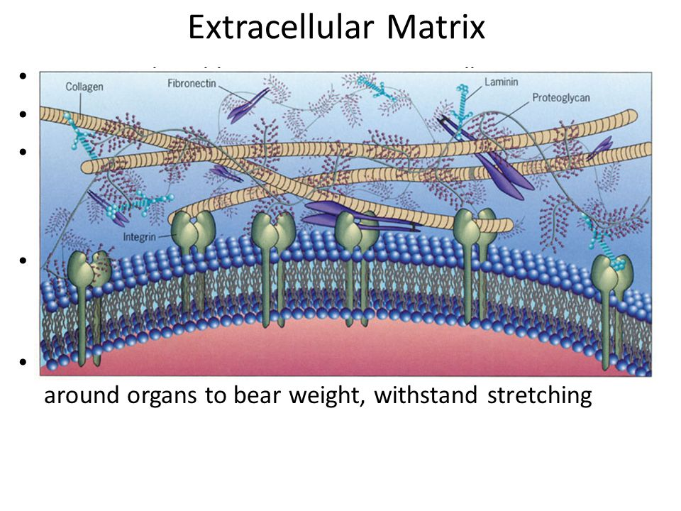 Extracellular Matrix ECM- produced by connective tissue cells Made up of two elements: ground substance and fibers Ground substance- water, adhesion p