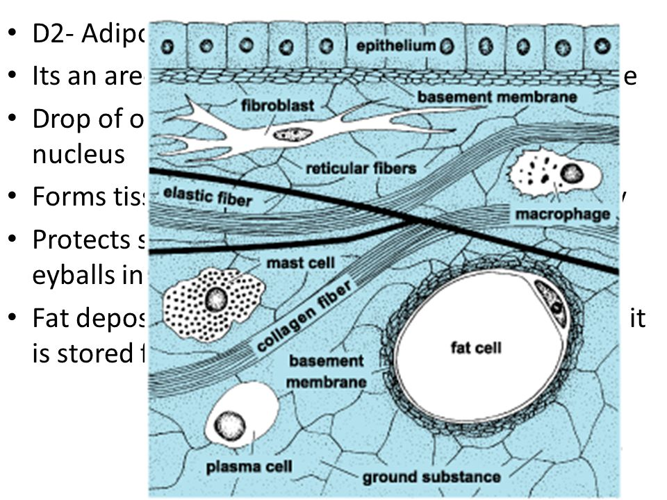 E- Blood (vascular tissue) Blood cells surrounded by nonliving matrix (plasma) Fibers are protein molecules only visible during clotting Blood carries wastes, nutrients, and respiratory gases