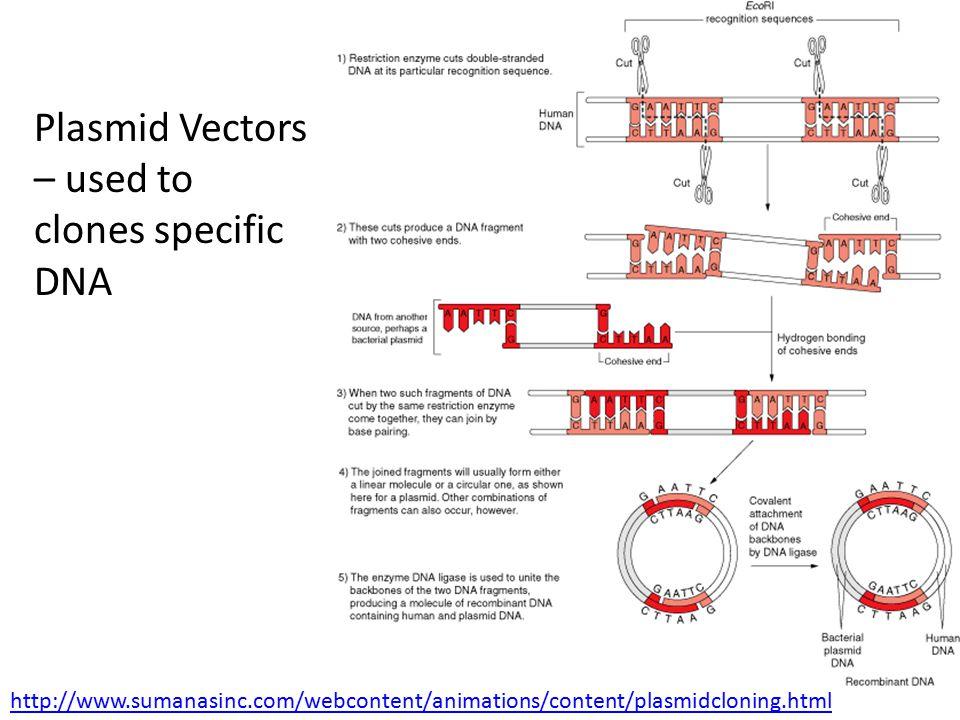 Plasmid Vectors – used to clones specific DNA http://www.sumanasinc.com/webcontent/animations/content/plasmidcloning.html