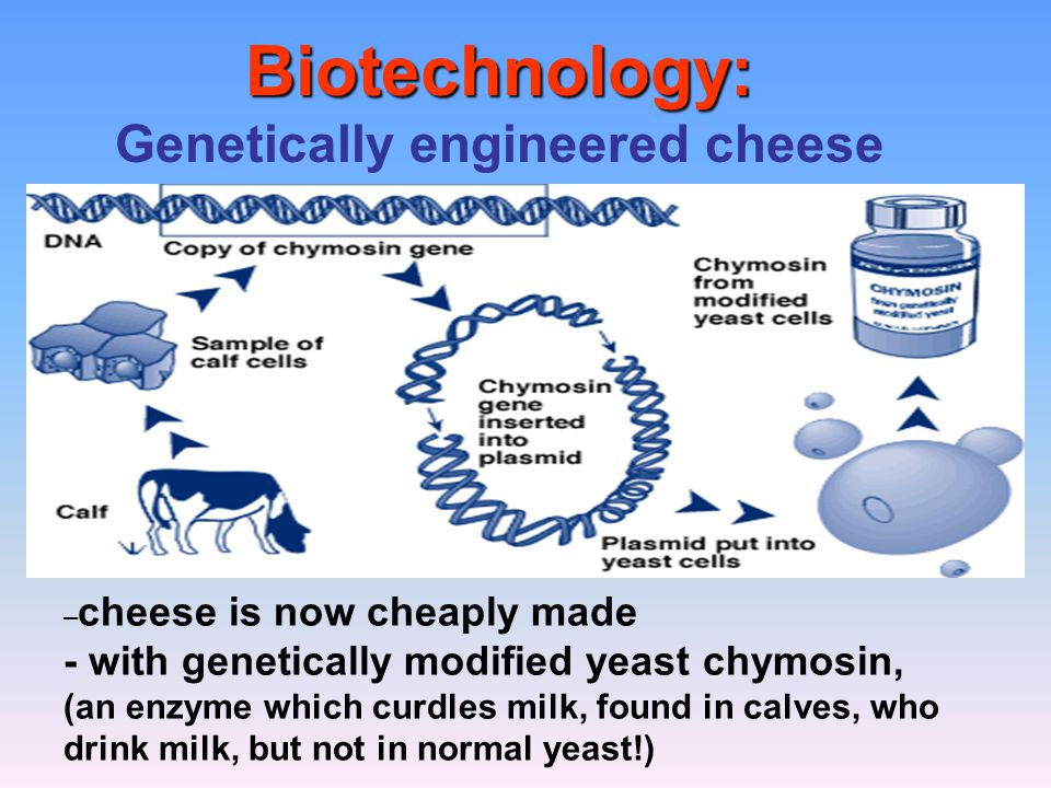 Biotechnology: Biotechnology: Genetically engineered cheese – cheese is now cheaply made - with genetically modified yeast chymosin, (an enzyme which