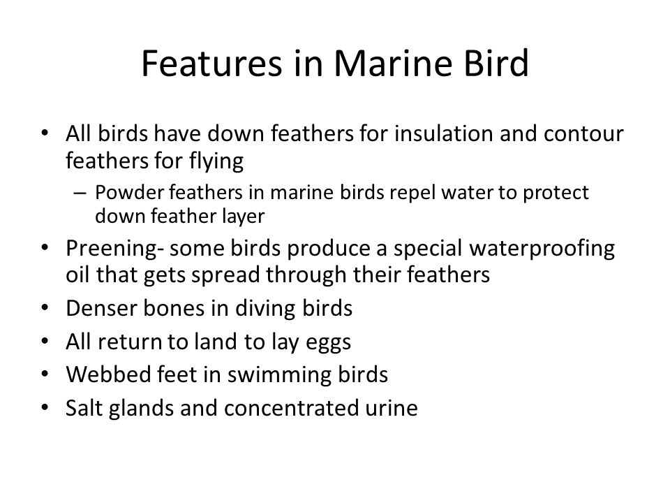Features in Marine Bird All birds have down feathers for insulation and contour feathers for flying – Powder feathers in marine birds repel water to protect down feather layer Preening- some birds produce a special waterproofing oil that gets spread through their feathers Denser bones in diving birds All return to land to lay eggs Webbed feet in swimming birds Salt glands and concentrated urine