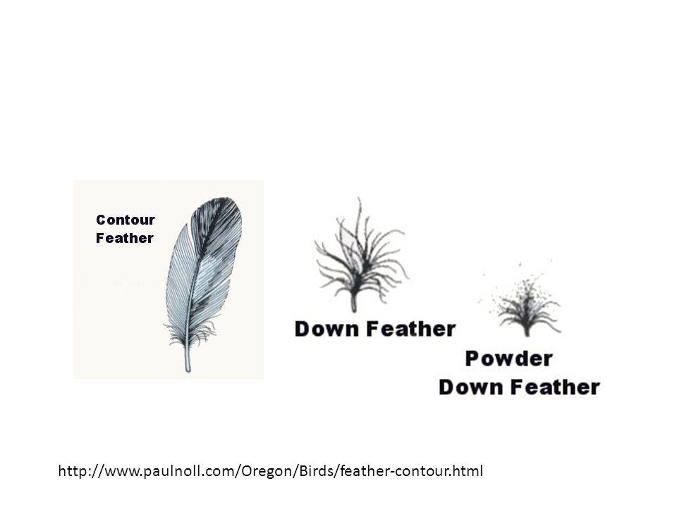 http://www.paulnoll.com/Oregon/Birds/feather-contour.html