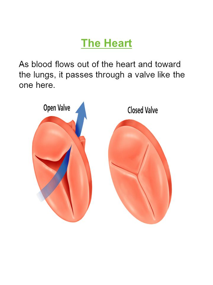 The Heart As blood flows out of the heart and toward the lungs, it passes through a valve like the one here.