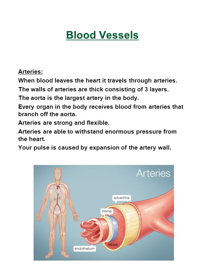 Blood Vessels Arteries: When blood leaves the heart it travels through arteries. The walls of arteries are thick consisting of 3 layers. The aorta is