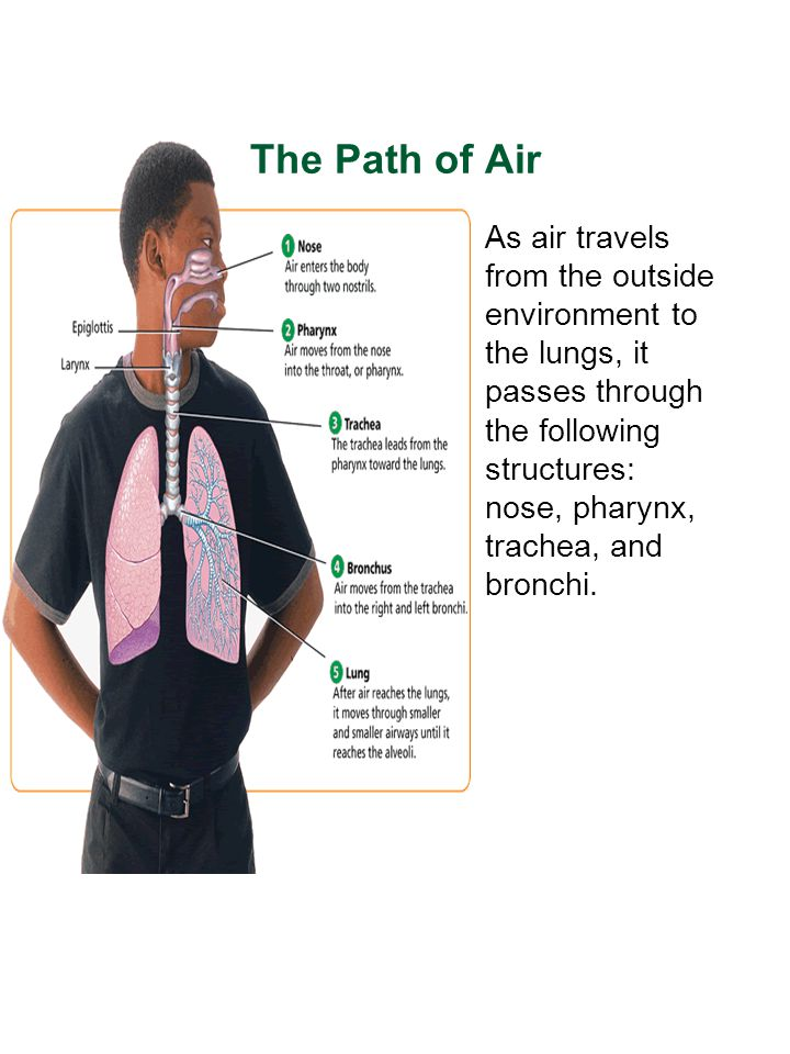 The Path of Air As air travels from the outside environment to the lungs, it passes through the following structures: nose, pharynx, trachea, and bron