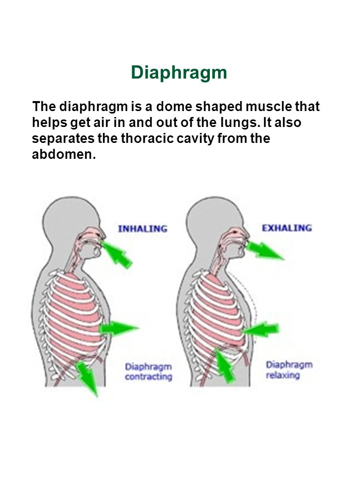 Diaphragm The diaphragm is a dome shaped muscle that helps get air in and out of the lungs. It also separates the thoracic cavity from the abdomen.