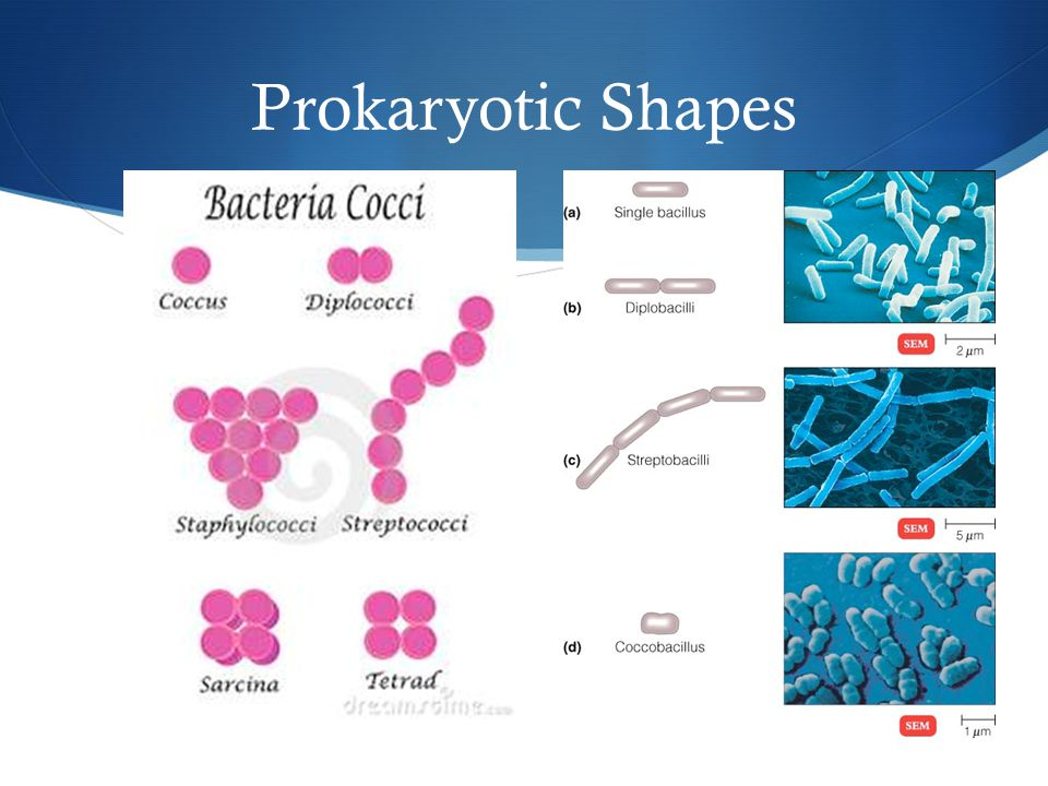 Prokaryotic Shapes
