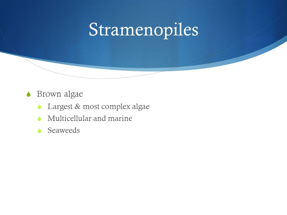 Stramenopiles  Brown algae  Largest & most complex algae  Multicellular and marine  Seaweeds