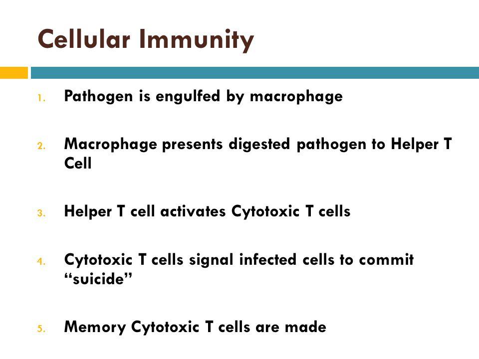 Cellular Immunity 1.Pathogen is engulfed by macrophage 2.