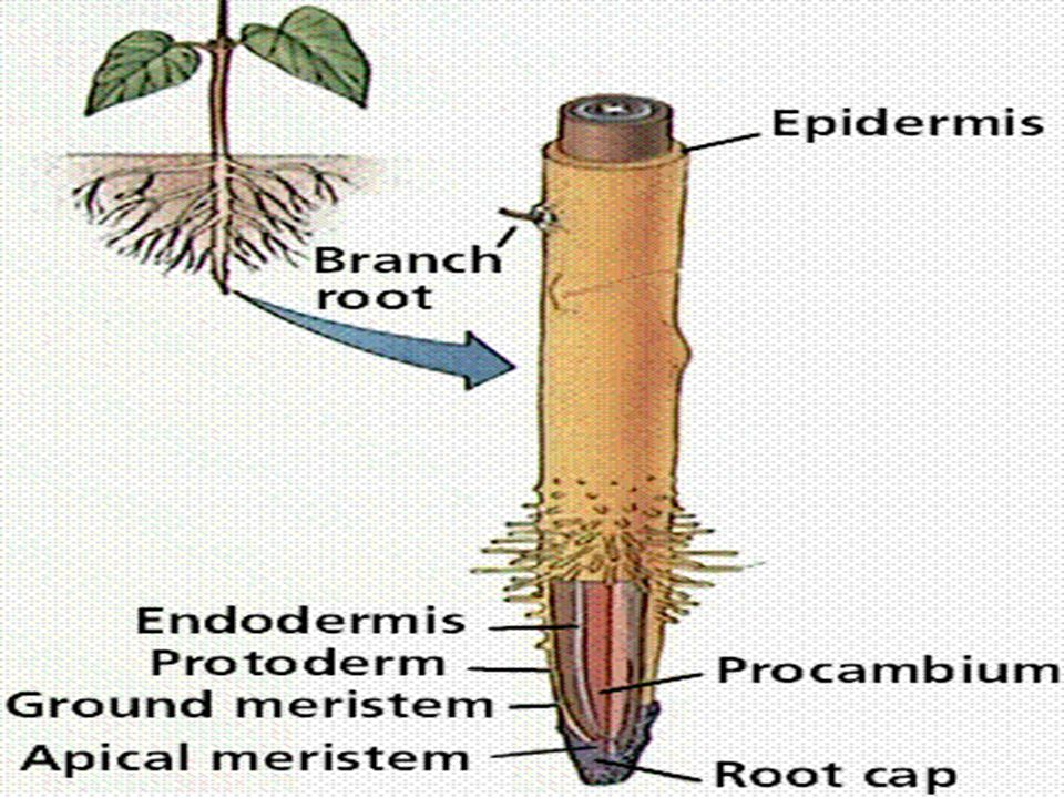 Some parenchyma cells: l Endodermis l Structure: –layer of cells surrounding the vascular tissue l Pericycle l Structure: –One to several cell thick, lied between the central cell and endodermis l Function: –produce lateral root